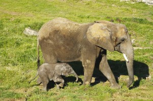 ZooParc de Beauval Elephanteau Rungwe