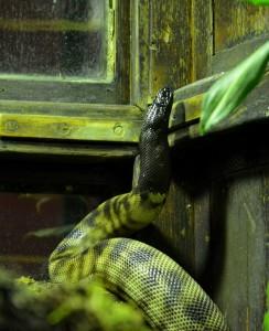 Ménagerie du Jardin des Plantes, Pythons à tête noire